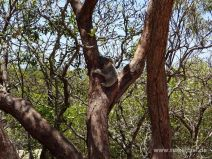 Baby-Koala auf Magnetic Island