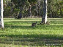Känguruh im Abendlicht in Agnes Water