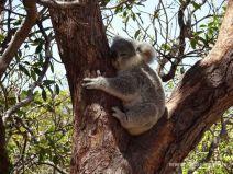 Koala-Baby am Wegesrand