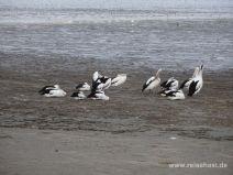 Pelikane im Watt