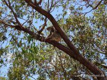 Koala hält Ausschau