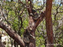 Koala-Mutter mit ihrem Kleinen