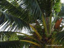 Kakadu in einer Kokospalme