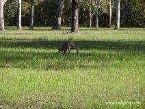 Känguruh beim Grasen