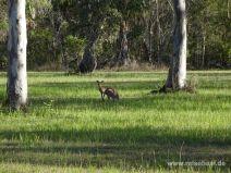 Känguruh in Agnes Water