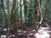 Urwüchsige Liane im Wald