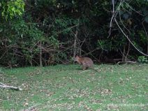 Wallaby am Straßenrand
