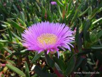 Violette Blume an der Promenade