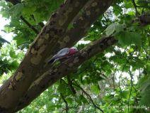 Rosakakadu im Baum