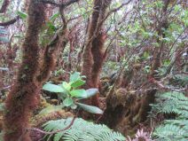 Pflanzen am Alakai Swamp Trail auf Kauai