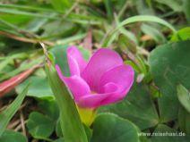 Blume am Wegesrand der Levada da Janela