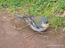 Gar nicht scheuer Vogel an der Levada da Janela