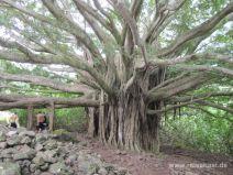 Banyan Baum am Pipiwai Trail auf Maui