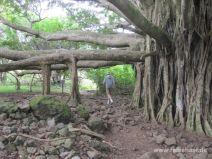 Großer Banyan Baum
