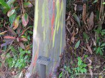 Stamm eines Regenbogeneukalyptusbaums