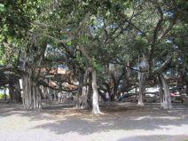 Großer Banyan Baum in Lahaina auf Maui