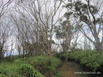 Lichter Eukalyptuswald