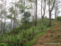 Weg zwischen Eukalyptus