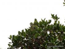 Getarnter grüner Papagei