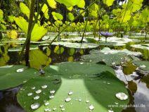 Teich mit Lotus