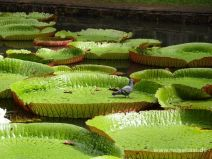 Große Seerosenblätter im Teich