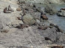 Cape Palliser Robben Kolonie