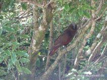 Kea im Baum