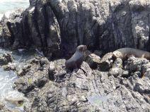 Robben auf Landgang