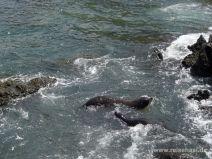 Robben im Meer