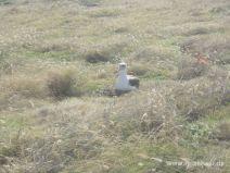Brütender Albatros im Dezember