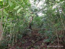 Dichter Wald aus Kaffebäumen