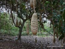 Wurstbaum