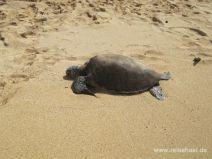 Green Sea Turtle am Hale'iwa Ali'i Beach auf O'ahu