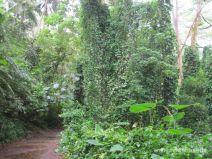 Wanderweg zu den Manoa Falls auf Oahu