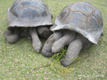 Frei lebende Riesenschildkröten auf Curieuse