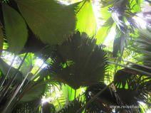Palmendach im Vallée de Mai auf Praslin