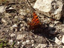 Schmetterling auf dem Weg